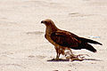 Black Kite at sea shore.jpg