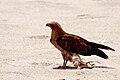 Black Kite at sea shore.jpg