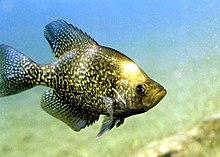 List of fishes of Missouri - Wikipedia