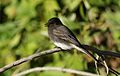 Black phoebe, Sayornis nigricans, along the Guadalupe River in Santa Clara, California, USA (30654045350).jpg
