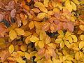 Blaetter Buchenlaub im Herbst.jpg