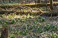 Bledule jarní v PR Králova zahrada 07.jpg