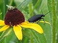 Blister beetle (709981225).jpg
