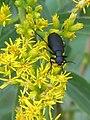 Blister beetle (710514404).jpg