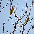 Blossom-headed Parakeet Psittacula roseata both sex male and female together.jpg