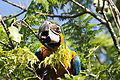 Blue-and-yellow Macaw - Guacamayo azul y amarillo (Ara ararauna) (15540184760).jpg