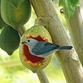Blue-gray Tanager (16486632546).jpg