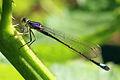 Blue-tailed damselfly (Ischnura elegans) female violacea.jpg