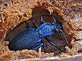Blue Ground Beetle (Carabus intricatus) hibernating in dead wood (13534041943).jpg