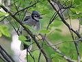 Blue Jay (juvy) (35230369620).jpg