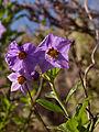 Blue Witch (Solanum umbelliferum) (4361470394).jpg