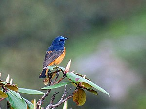 Great Himalayan National Park - Image: Blue fronted Redstart Male Himachal I2 IMG 3517