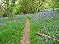 Bluebell woods on Helmeth Hill near Church Stretton - geograph.org.uk - 1866121.jpg
