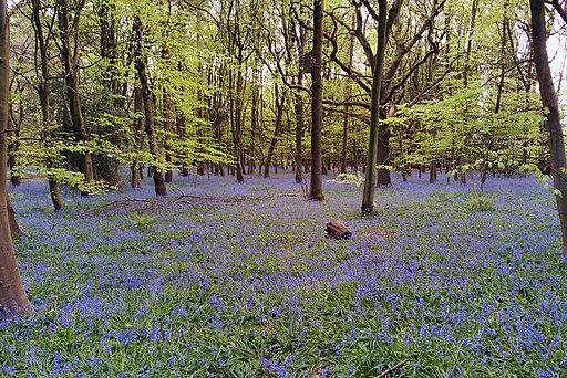 Bluebells, Chantry Wood