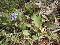 Bluebells and trout lilies bloom along Gap Run. (13953001123).jpg