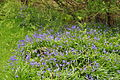 Bluebells by Venford Reservoir (4283).jpg