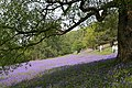Bluebells on the Malvern Hills - geograph.org.uk - 417264.jpg