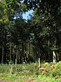 Bluestone Plantation near Holt Road (B1149) - geograph.org.uk - 553643.jpg