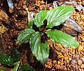 Boesenbergia tiliifolia 04.JPG