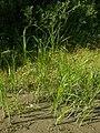 Bolboschoenus yagara 84487575.jpg