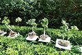 Bonsai - Jardim Botânico Tropical - Lisbon, Portugal - DSC06570.JPG
