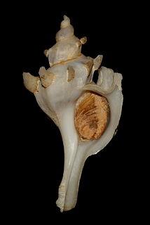 <i>Boreotrophon</i> genus of molluscs