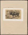 Bos bonasus - 1863 - Print - Iconographia Zoologica - Special Collections University of Amsterdam - UBA01 IZ21200161.tif