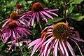 Botanischer Garten der Universität Zürich - Echinacea purpurea 2010-08-24 18-03-56.JPG