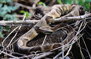 Bothrops jararaca - Image: Bothrops jararaca 1