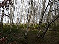 Bottom Moor - Silver Birch and Heather - geograph.org.uk - 341316.jpg