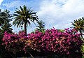 Bougainvillea-Taormina-Sicilia-Italy-Castielli CC0 HQ - panoramio - gnuckx.jpg
