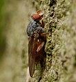 Brachyopa bicolor, Parc de Woluwé, Brussels.jpg