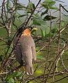 Brahminy Starling (3).jpg