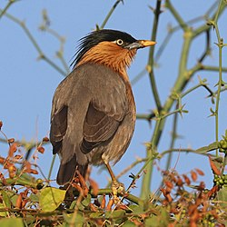Brahminy starling (Sturnia pagodarum) male.jpg