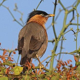 Brahminy starling Species of bird