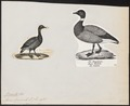 Branta bernicla - 1700-1880 - Print - Iconographia Zoologica - Special Collections University of Amsterdam - UBA01 IZ17600159.tif