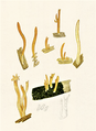 Bresadola - Calocera furcata.png