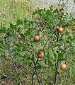 Brewer's Oak apple.jpg