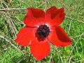 Broad Leaved Anémone (Anemone hortensis) (8338454156).jpg