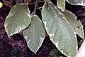 Brugmansia Sunray 7zz.jpg