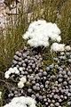Brunia noduliflora (Bruniaceae) (4575517301).jpg