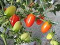 Buah tomato ceri (3).JPG