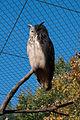 Bubo bubo -Berlin Zoo, Germany-8a.jpg