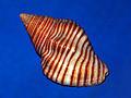 Buccinidae - Pollia undosa-1.JPG