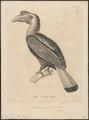 Buceros sulcatus - 1700-1880 - Print - Iconographia Zoologica - Special Collections University of Amsterdam - UBA01 IZ19300083.tif