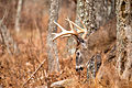 Buck in the Forest (23073153476).jpg