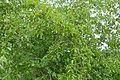 Buffalo Thorn (Ziziphus mucronata) (17349474522).jpg
