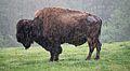 Buffalo in the Rain.JPG