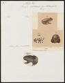 Bufo obstetricans - 1700-1880 - Print - Iconographia Zoologica - Special Collections University of Amsterdam - UBA01 IZ11400229.tif