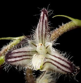 Bulbophyllum lindleyanum Griff., Not. Pl. Asiat. 3- 287 (1851) (25196680827) - cropped.jpg